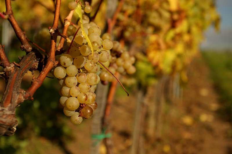 chardonnay-winnica-wieliczka