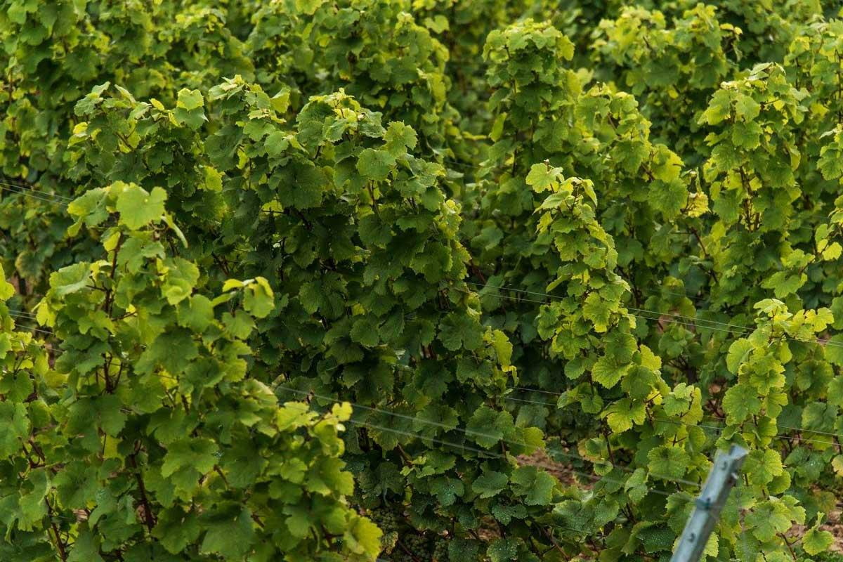 krzewy-winnica-wieliczka