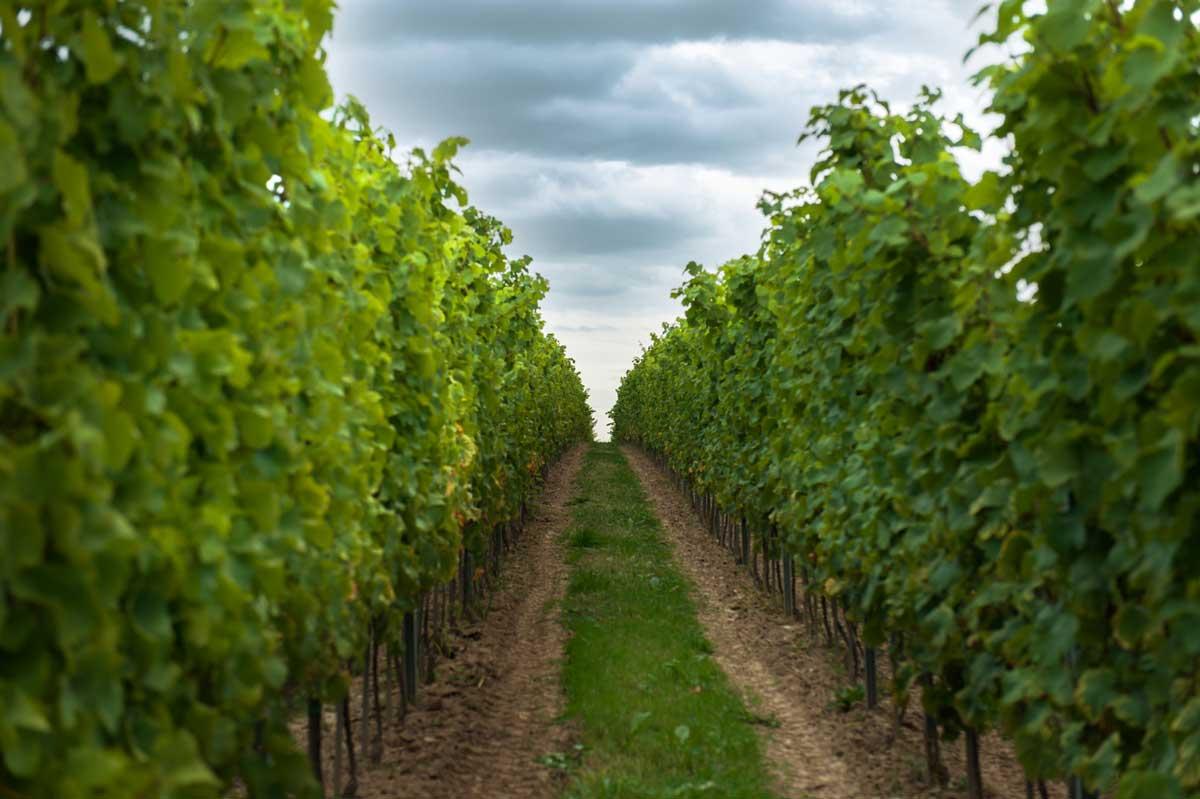 winnica-wieliczka-rzedy